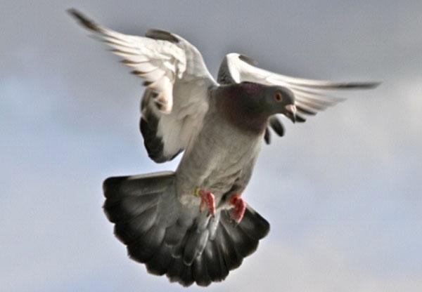 pigeon-2-640x427